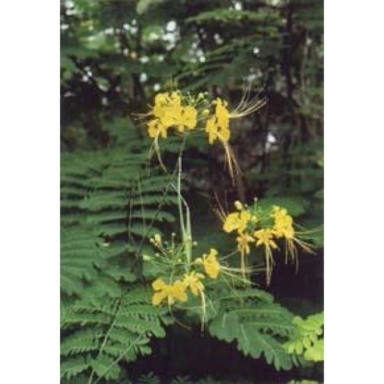 Caesalpinia Pulcherrima Seeds ( Peacock Flower ) - 50 Seeds For Sale, Shipping  All Over India