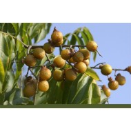 Santalum Album Seeds ( Indian Sandalwood ) - 50 Seeds For Sale ,  Shipping All Over India